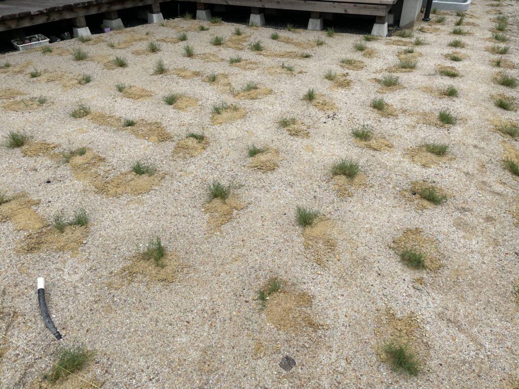 鳥取方式 芝庭植え付け直後