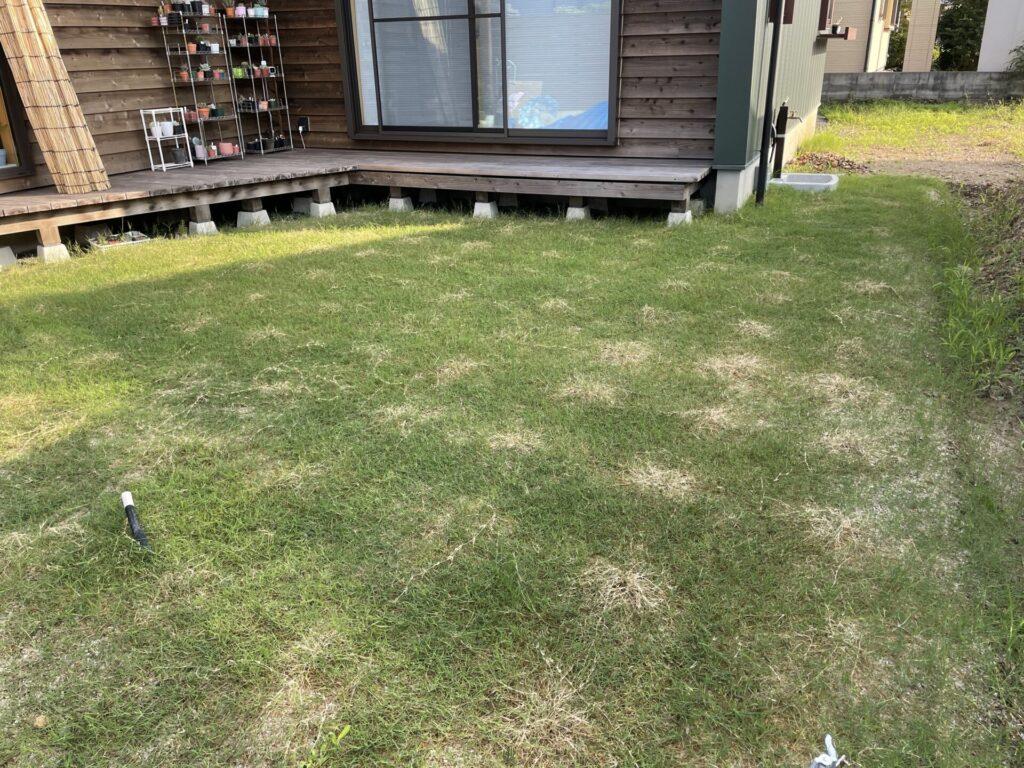 ティトン芝 8週間後 芝刈り後